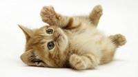 Mi gato tienen hongos en la cola, además de la crema ¿Es necesario el tratamiento oral?