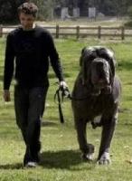 Perros grandes: Peso ideal  con mucho esfuerzo y ejercicio